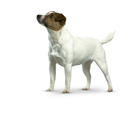 JackRussellTerrier.png